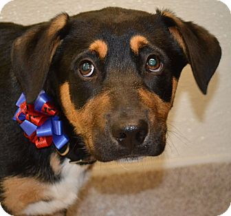 Bernese Mountain Dog Mix Puppy for adoption in Gilbert, Arizona - Brunner