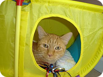 Domestic Shorthair Cat for adoption in Grayslake, Illinois - Tippy