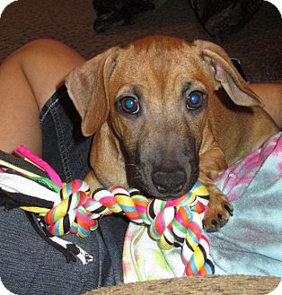 Dachshund Mix Dog for adoption in Humble, Texas - Brownie