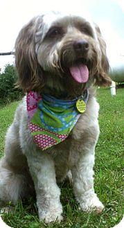 Poodle (Miniature)/Terrier (Unknown Type, Medium) Mix Dog for adoption in Staunton, Virginia - Brady