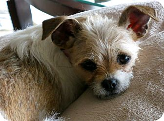 Brussels Griffon Mix Dog for adoption in Los Angeles, California - Izzie