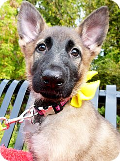 German Shepherd Dog/Shepherd (Unknown Type) Mix Puppy for adoption in Detroit, Michigan - Carina-Adopted!