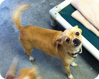 Chihuahua/Pug Mix Dog for adoption in Greensburg, Pennsylvania - Bell