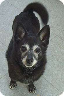 Terrier (Unknown Type, Small) Mix Dog for adoption in Oberlin, Ohio - Poppie