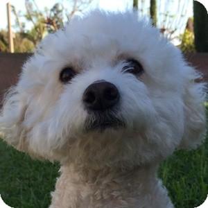 Bichon Frise Mix Dog for adoption in La Costa, California - Bunny