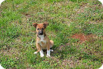Australian Shepherd/Sheltie, Shetland Sheepdog Mix Puppy for adoption in Wilminton, Delaware - Layla
