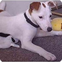 Adopt A Pet :: Roxie - Purebred!! - Evansville, IN