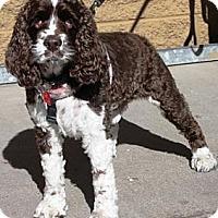 Adopt A Pet :: Luke - Gilbert, AZ