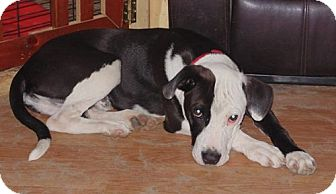 American Pit Bull Terrier Mix Dog for adoption in Kinston, North Carolina - Petey