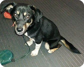 German Shepherd Dog/Collie Mix Puppy for adoption in Irwin, Pennsylvania - Georgia