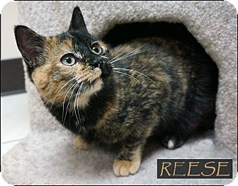 Domestic Shorthair Cat for adoption in Wheaton, Illinois - Reese