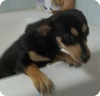 Dachshund Mix Dog for adoption in Silver City, New Mexico - Marissa