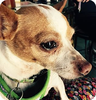 Chihuahua Mix Dog for adoption in San Diego, California - Lisa