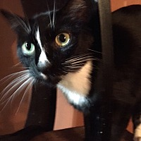 Domestic Shorthair Cat for adoption in Dallas, Texas - Ripley