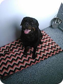 Rottweiler Dog for adoption in Cedaredge, Colorado - Nanny