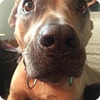 Adopt A Pet :: Sugar Bear - Eugene, OR