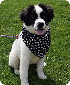 Newfoundland/Labrador Retriever Mix Puppy for adoption in Washington, Pennsylvania - Oliver
