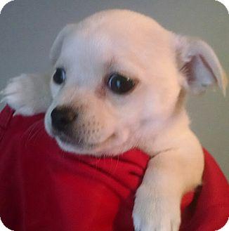 Chihuahua/Pug Mix Puppy for adoption in Savannah, Georgia - Vi