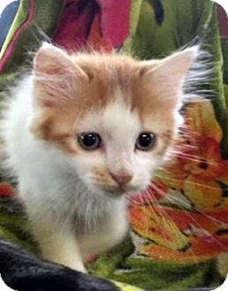 Turkish Van Kitten for adoption in Porter, Texas - Caesar