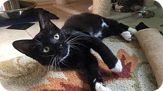 Domestic Shorthair Kitten for adoption in Chino Hills, California - Baby Biscuit (a family cat!)