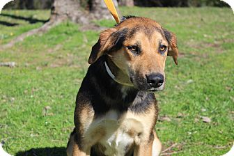 Shepherd (Unknown Type) Mix Dog for adoption in Conway, Arkansas - Delilah
