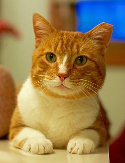 Domestic Shorthair Cat for adoption in Troy, Michigan - Albert