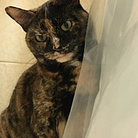Domestic Shorthair Cat for adoption in New York, New York - Bella