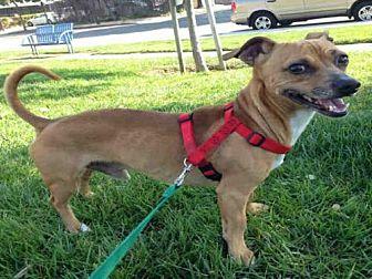Chihuahua/Dachshund Mix Dog for adoption in Alameda, California - DUKE