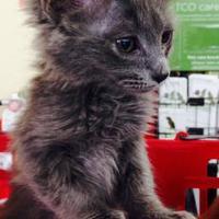 Adopt A Pet :: Tosh - Chandler, AZ