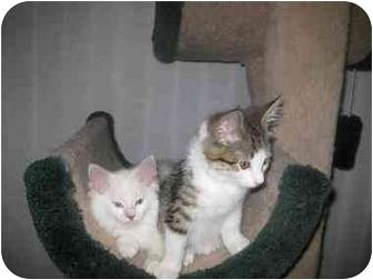 Manx Kitten for adoption in Lethbridge, Alberta - Herbie
