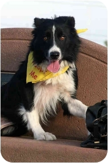 Border Collie Dog for adoption in San Pedro, California - BOOTCHY