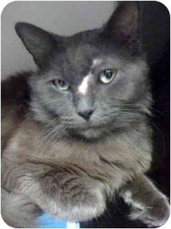 Russian Blue Cat for adoption in Houston, Texas - Murray
