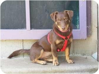Dachshund/Corgi Mix Puppy for adoption in Salamanca, New York - Morgan