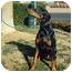 Photo 1 - Doberman Pinscher Dog for adoption in Las Vegas, Nevada - Delilah