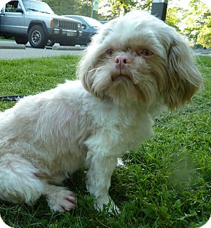 Shih Tzu Dog for adoption in CLEVELAND/AKRON, Ohio - Pink