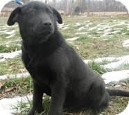 Labrador Retriever Mix Puppy for adoption in Salem, Massachusetts - Fred