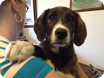 Catahoula Leopard Dog Dog for adoption in Gustine, California - ALEX