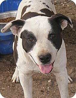 American Bulldog Mix Dog for adoption in Pembroke, Georgia - Holden