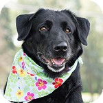 Labrador Retriever Dog for adoption in Wheaton, Illinois - Maddie