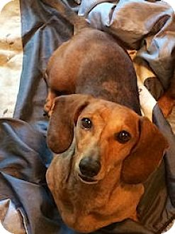 Dachshund Dog for adoption in Andalusia, Pennsylvania - Slinky