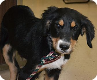 German Shepherd Dog Mix Puppy for adoption in Mt Sterling, Kentucky - Lexi