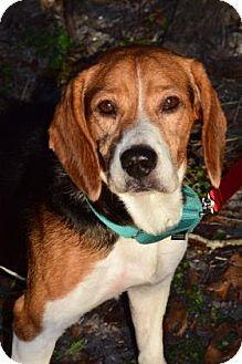 Beagle Mix Dog for adoption in Bradenton, Florida - Wayne