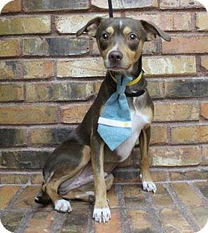 Miniature Pinscher Mix Dog for adoption in Benbrook, Texas - BamBam