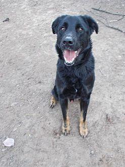 German Shepherd Dog/Labrador Retriever Mix Dog for adoption in Loganville, Georgia - Kiser