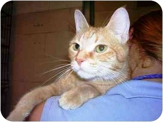 Domestic Mediumhair Cat for adoption in Caro, Michigan - Tiger Lilly