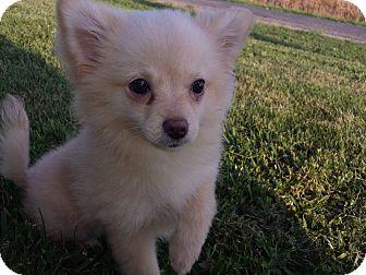 Pomeranian Puppy for adoption in Southington, Connecticut - Ella