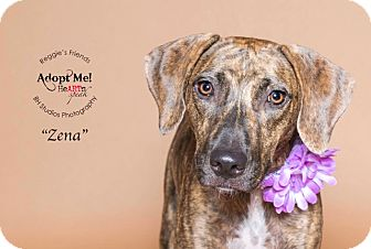 Labrador Retriever/Plott Hound Mix Dog for adoption in Boston, Massachusetts - Zena