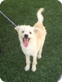 Terrier (Unknown Type, Small)/Poodle (Miniature) Mix Dog for adoption in Las Vegas, Nevada - Archer