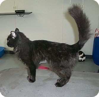 Domestic Mediumhair Cat for adoption in Martinsville, Indiana - Lila