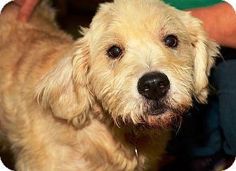 Labradoodle Mix Dog for adoption in Kalamazoo, Michigan - Dougal